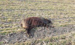 Deși aveau permis de vânătoare pentru vulpi, opt vânători au fost reținuți după ce au vânat cinci mistreți