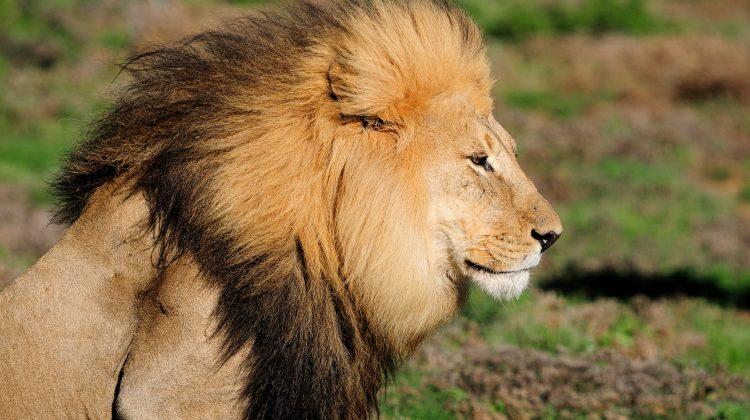 """(FOTO) BUN VENIT! Grădina Zoologică din Chișinău are """"locatari noi"""". Au fost achiziționați 4 lei africani"""