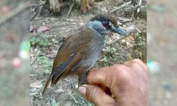 O pasăre care se credea a fi dispărută, identificată de către cercetători după 170 de ani