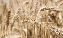 Peste 20 de mii de tone de grâu din rezerva de stat vor fi împrumutate agenților economici