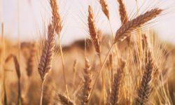 Preţurile la cereale sunt în creştere pe fondul îngrijorărilor cu privire la o scădere a producției