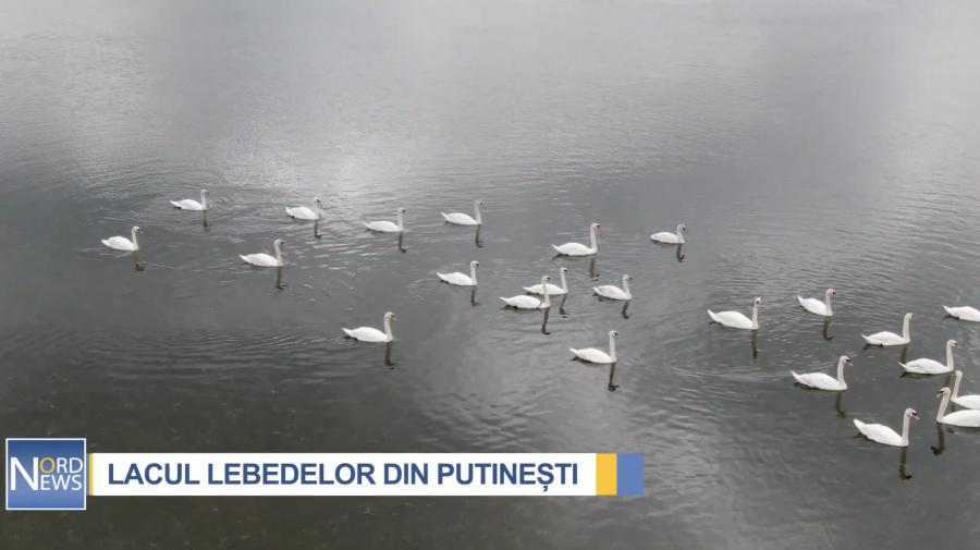 O adevărată minunăție! Peste 100 de lebede, pe un lac de la Nordul Moldovei (VIDEO)