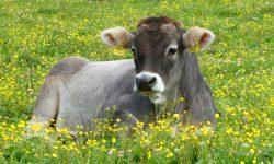 Țara în care te vaccinezi și poți câștiga o vacă. Metodă inedită utilizată pentru a încuraja imunizarea