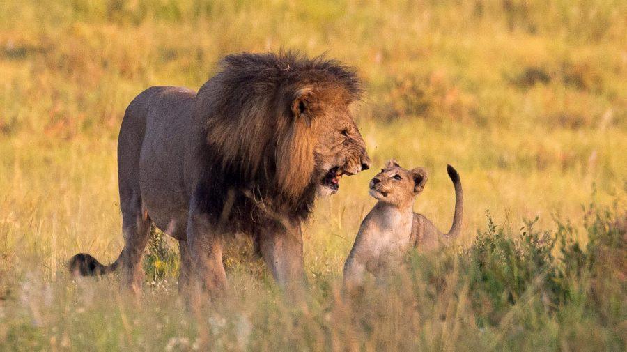 Africa de Sud anunță că va interzice creşterea leilor în captivitate în scopul vânătorii
