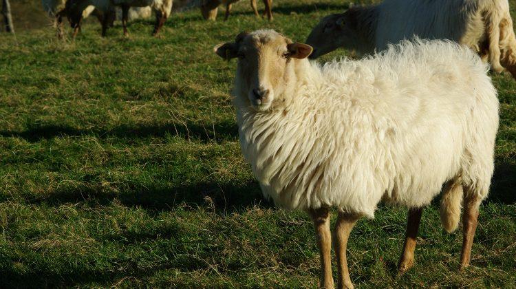 Proiectul Lanaland. Cum vor salva oile Latxa planeta de poluare cu plastic și poliester