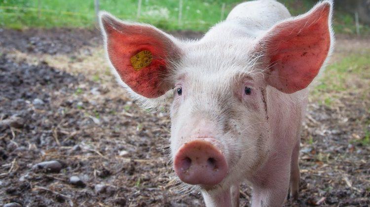 Moldova a interzis importul de porci și carne din România. Care este cauza