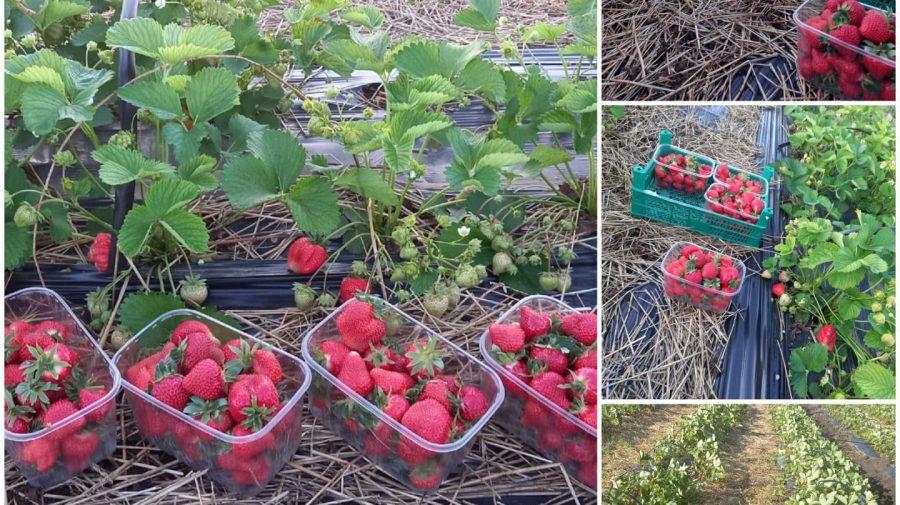 Hai la căpșuni! Un agricultor din Pârâta vinde fructele direct din câmp, le poți culege singur
