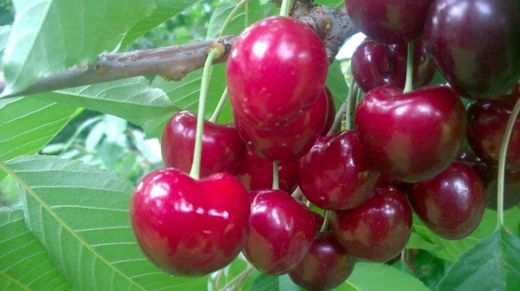 (FOTO) Hai la cireșe! Un fermier din satul Telița propune fructe GRATIS, puteți lua și acasă