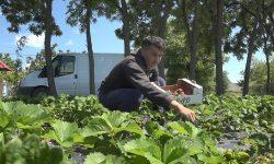 Afacere cu căpșuni la 25 de ani. Istoria unui tânăr din Telenești: m-am săturat să lucrez peste hotare