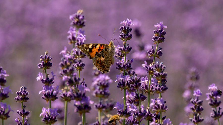 Începe sezonul pozelor în LAVANDĂ. Când se deschid câmpurile pentru vizitatori, facilități, prețuri și locații