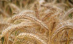 Probleme pentru agricultori: Dacă nu contenesc ploile, vor încolți boabele în spic