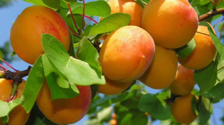 Premieră pentru caisele moldovenești: Fructele sunt exportate în mai multe țări din Uniunea Europeană
