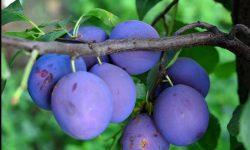 Roada de prune din acest an va fi mai mică! Ce spun producătorii