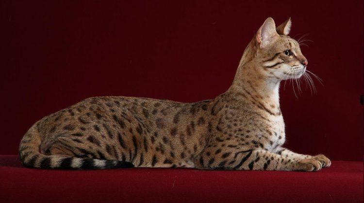 O pisică…cât o casă! Cea mai scumpă rasă de pisici din lume, un exemplar poate costa și 125.000 de dolari