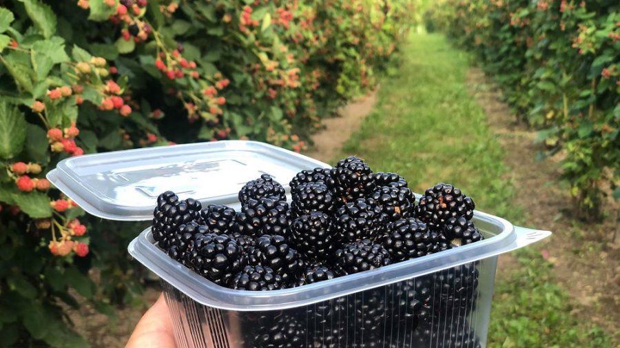 În Moldova, scad prețurile murelor, însă producătorii sunt încă mulțumiți de sezonul 2021. Previziunile specialiștilor