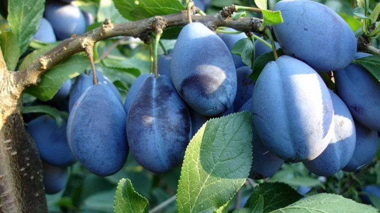 Eastfruit: Prețurile pentru prunele de înaltă calitate continuă să crească, în Moldova, datorită exporturilor