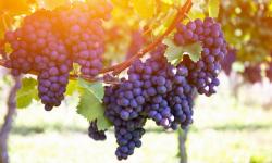 Exporturile moldovenești de fructe, uleiuri vegetale și vin spre țările Uniunii Europene – mai mari în 2020