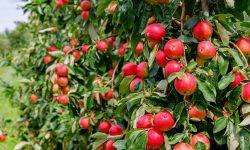 Prețurile pentru merele timpurii au început să crească în Moldova