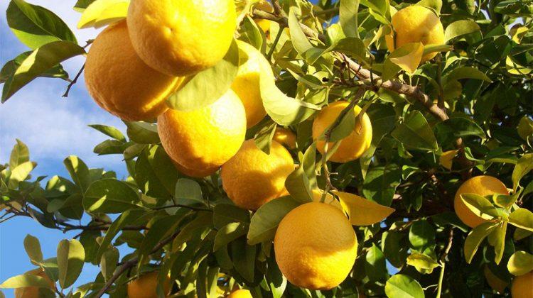 Spania a dezvoltat o metodă inovatoare de irigare prin picurare pentru kaki și lămâi. Cum funcționează