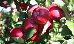 Moldova Fruct: În acest an, jumătate din recolta de mere va ajunge la procesare