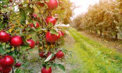 Vești deloc îmbucurătoare pentru producătorii de mere – noul sezon va fi complicat. Previziunile specialiștilor