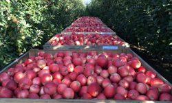 Prognosfruit 2021 a anunțat prognoza anuală pentru mere și pere în UE. Ce recoltă va avea Moldova?