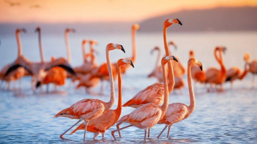Nimeni nu se aștepta la așa ceva! Păsările flamingo cuibăresc în Dobrogea pentru prima dată: Au deja zece pui