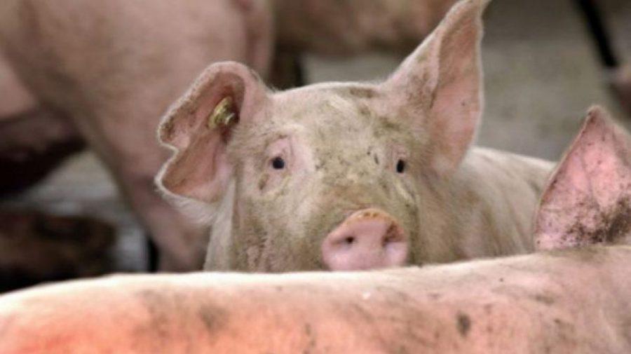 A fost depistat un focar de pestă porcină africană. A fost instituit regim de carantină în comuna Hănăsenii Noi