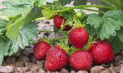 Va deveni oare soiul de căpșuni remontate o ramură a businessului agrar din Republica Moldova? Ce spun specialiștii
