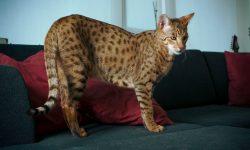 O pisică mai scumpă decât o casă! Un exemplar poate ajunge și la 125.000 de dolari
