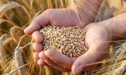 Grâul, noul petrol rusesc? Rusia s-a transformat dintr-un importator de alimente în cel mai mare exportator de cereale